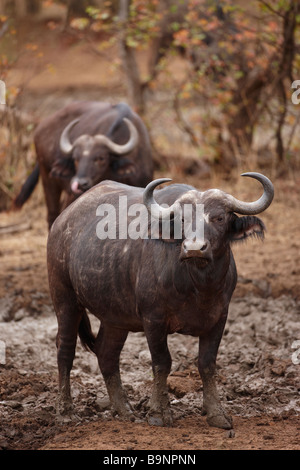 buffalo at a waterhole, Kruger National Park, South Africa - Stock Photo