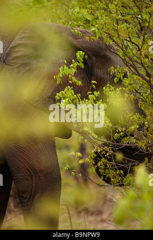 an African elephant feeding in the bush, Kruger National Park, South Africa - Stock Photo