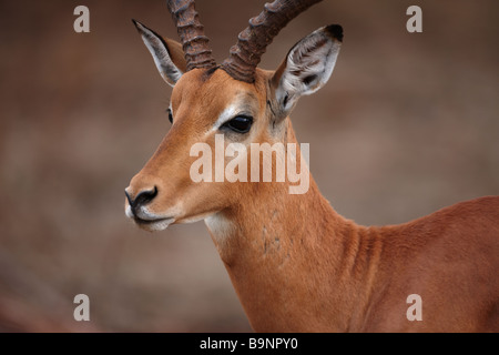portrait of impala bull in the bush, Kruger National Park, South Africa - Stock Photo