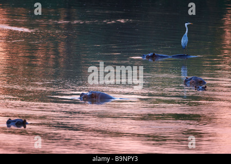 a heron perched on a hippopotamus in the Shingwedzi River at dawn, Kruger National Park, South Africa - Stock Photo