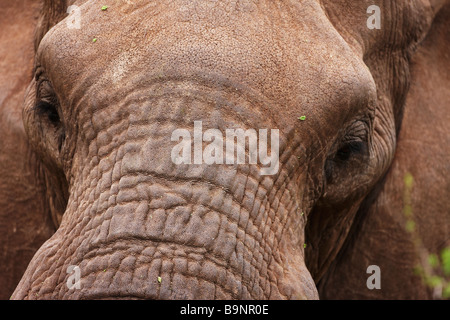 detail of elephant portrait, Kruger National Park, South Africa - Stock Photo