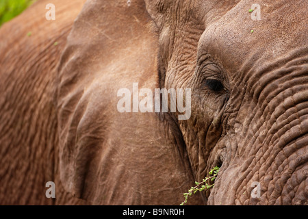 close-up detail of African elephant in the bush, Kruger National Park, South Africa - Stock Photo