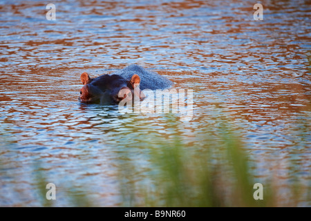 wary hippopotamus in a river, Kruger National Park, South Africa - Stock Photo