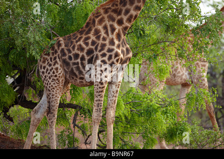 two giraffes in the bush, Kruger National Park, South Africa - Stock Photo