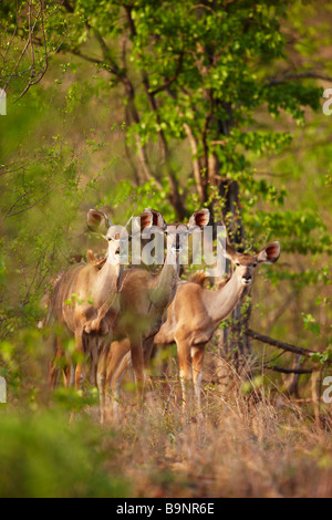 three kudu ewes in the bush, Kruger National Park, South Africa - Stock Photo