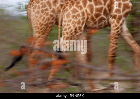 giraffes on the move, Kruger National Park, South Africa - Stock Photo