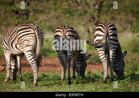 rear view of three Burchells zebra feeding in the bush, Kruger National Park, South Africa - Stock Photo