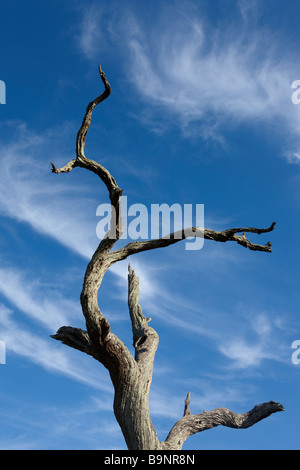 petrified dead tree against dramatic feathered sky, Kruger National Park, South Africa - Stock Photo