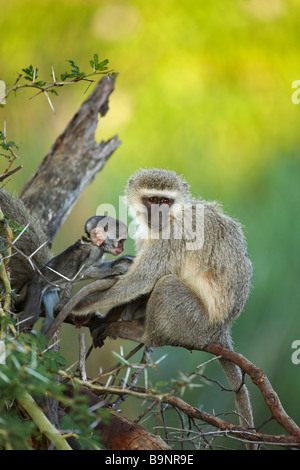 Vervet monkey with baby in the bush, Kruger National Park, South Africa - Stock Photo