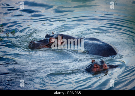 two hippopotamus in a river, Kruger National Park, South Africa - Stock Photo