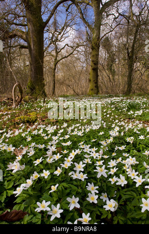 Wood Anemones Anemone nemorosa in flower in spring in ancient coppice woodland Garston Wood nature reserve Dorset - Stock Photo