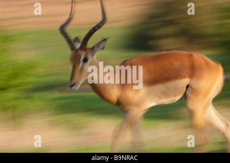 impala on the move in the bush, Kruger National Park, South Africa - Stock Photo