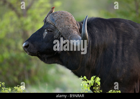 African buffalo with red billed oxpecker on its head in the bush, Kruger National Park, South Africa - Stock Photo