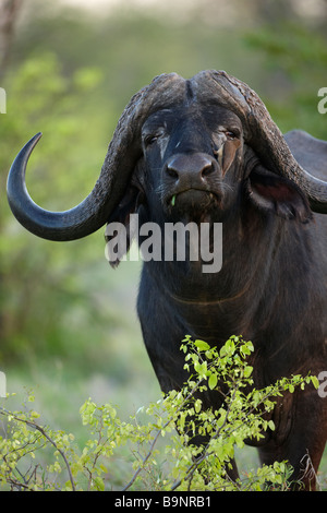 African buffalo with red billed oxpecker perched on his nose in the bush, Kruger National Park, South Africa - Stock Photo