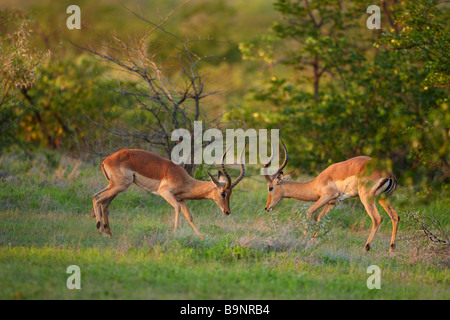 a pair of male impala sparring in the bush, Kruger National Park, South Africa - Stock Photo