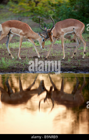 pair of male impala sparring reflected in waterhole, Kruger Natrional Park, South Africa - Stock Photo