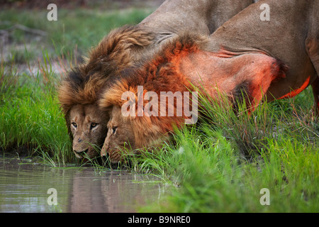 two lions drinking from a waterhole at dusk in the bush, Kruger National Park, South Africa - Stock Photo