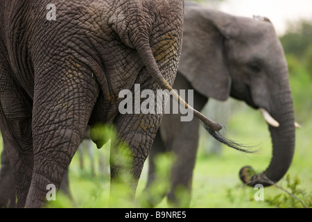 frontal and rear aspect of two African elephants in the bush, Kruger National Park, South Africa - Stock Photo