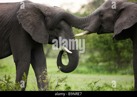 two African elephants bonding in the bush, Kruger National Park, South Africa - Stock Photo