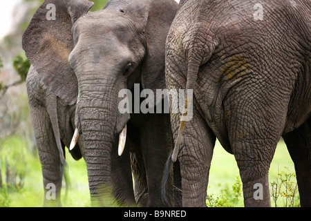 frontal and rear view of African elephants in the bush, Kruger National Park, South Africa