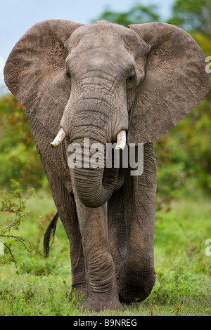 African elephant mock charging in the bush, Kruger National Park, South Africa - Stock Photo