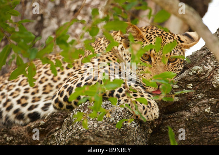 leopard resting in a tree, Kruger National Park, South Africa - Stock Photo
