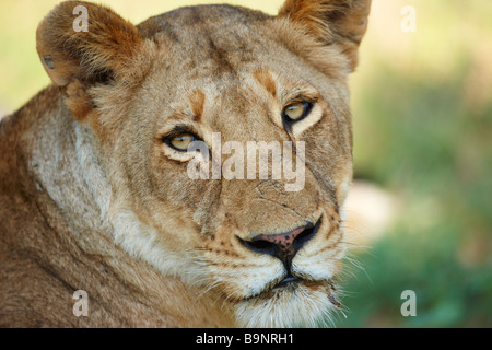 portrait of lioness in the bush, Kruger National Park, South Africa - Stock Photo