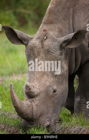 portrait of a white rhinoceros grazing in the bush with a red billed ox pecker Kruger National Park South Africa - Stock Photo
