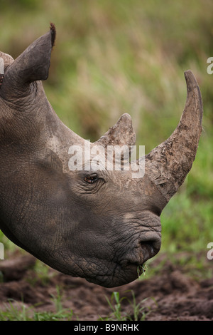 portrait of white rhinoceros grazing in the bush, Kruger National Park, South Africa - Stock Photo