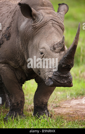 portrait of a white rhinoceros in the bush, Kruger National Park, South Africa - Stock Photo