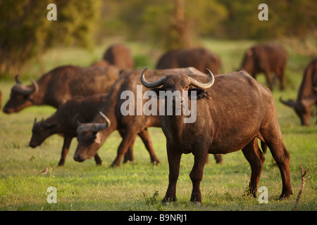 herd of African buffalo, Kruger National Park, South Africa - Stock Photo