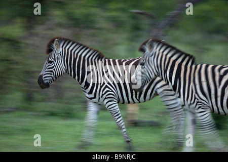 zebra on the move, Kruger National Park, South Africa - Stock Photo