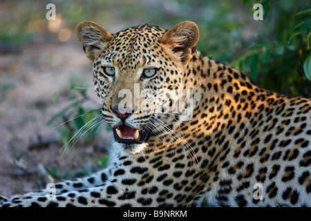 leopard resting in the bush, Kruger National Park, South Africa - Stock Photo