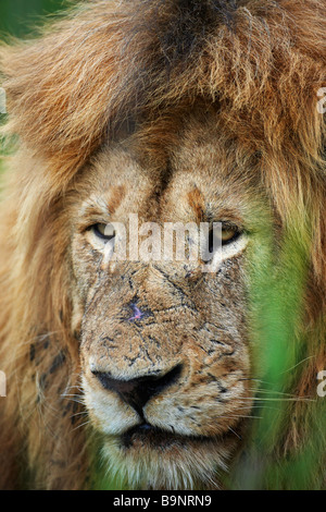 portrait of a pensive male lion resting in the bush, Kruger National Park, South Africa - Stock Photo