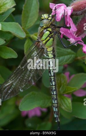 Common hawker dragonfly Aeshna juncea Pembrokeshire Wales UK Europe - Stock Photo