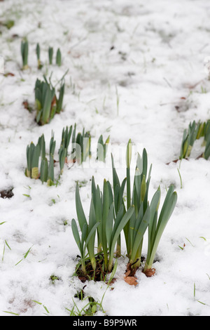Emerging daffodils in late winter snow Scotland - Stock Photo