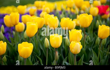 Yellow Tulip Field - Stock Photo