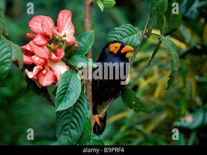 Papua New Guinea, Bismarck archipelago, New Brittany island, Merai, bird named Iuli in Kairak language - Stock Photo