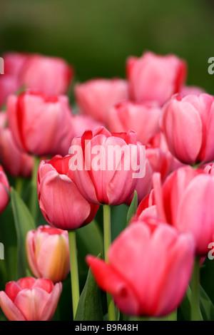 Pink Tulip Field - Stock Photo