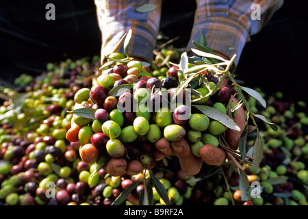 France, Alpes de Haute Provence, olive harvest near Les Mees - Stock Photo