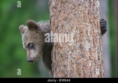 European brown bear Ursus arctos cub climbing tree in taiga forest Finland - Stock Photo