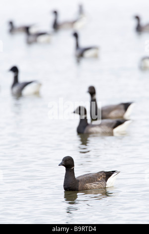 Brent Geese Branta bernicla flock on water North Norfolk UK winter - Stock Photo