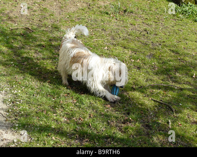 terrier playing with his toy - Stock Photo