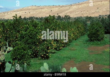 Orange trees in ripe fruit in the Souss Valley near Taroudant Morocco - Stock Photo