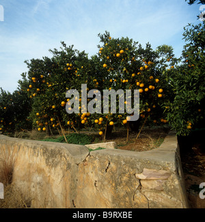 Orange trees in an orchard with ripe fruit near Valencia Spain - Stock Photo