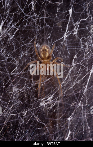 Window lace weaver spider Amaurobius fenestralis Amaurobiidae in her web on a window at night UK - Stock Photo