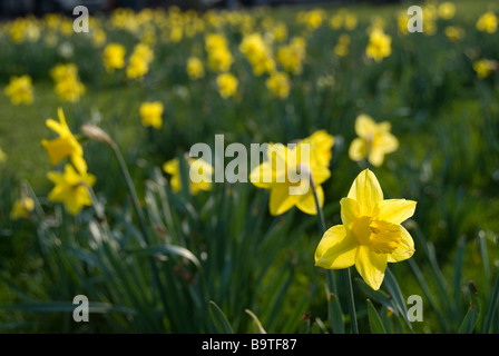 Daffodils in the Park - Stock Photo
