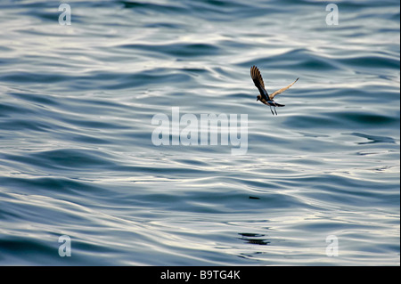 European storm petrel Hydrobates pelagicus in flight off Pembrokeshire coast Wales August - Stock Photo