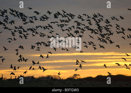 Flock of pink footed geese Anser brachyrhynchus flying to roost at dusk Norfolk November - Stock Photo