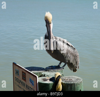 Brown Pelican (Pelecanus Occidentalis) on the Boardwalk at John's Pass, Madeira Beach, Gulf Coast, Florida, USA - Stock Photo